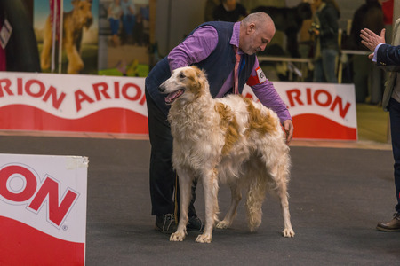 22th INTERNATIONAL DOG SHOW GIRONA March 17, 2018,Spain, Russian wolfhound 에디토리얼