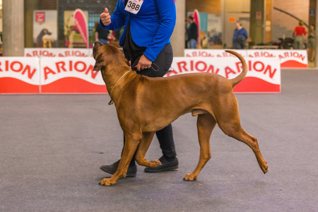 22th INTERNATIONAL DOG SHOW GIRONA March 17, 2018,Spain, african lion dog,