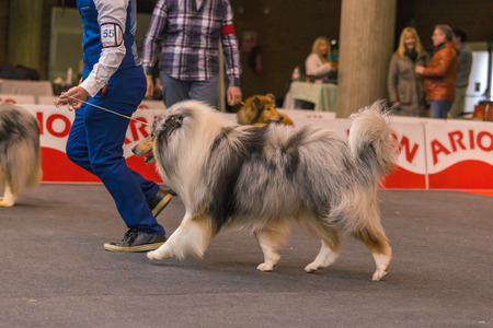 22th INTERNATIONAL DOG SHOW GIRONA March 17, 2018,Spain, Blue Merle Rough Collie