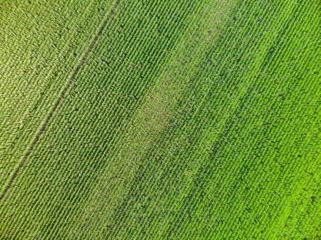 Drone picture over the maize field