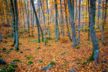 Famous beech forest in Spain, near the village Otot, near the volcanoes ambient La Fageda Stock Photo