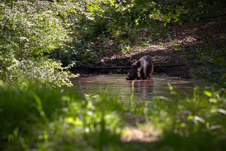 Wild boar in the forest wallowing in a pond at spring