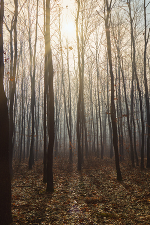 Foggy day in a oak forest in autumn time in Hungary Banco de Imagens