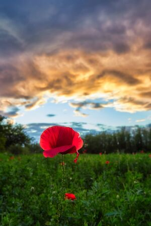 Springtime photo in a meadow with poppy flowers at evening time