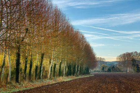Nice alley from populus trees in a autumn time,next to the field