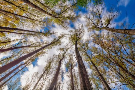 Nice poplar trees from bottom view in a sunny day in Spain, long exposure picture Foto de archivo
