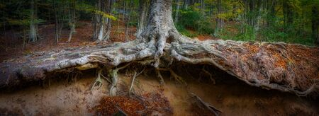 Panoramic picture of big beech tree roots 版權商用圖片