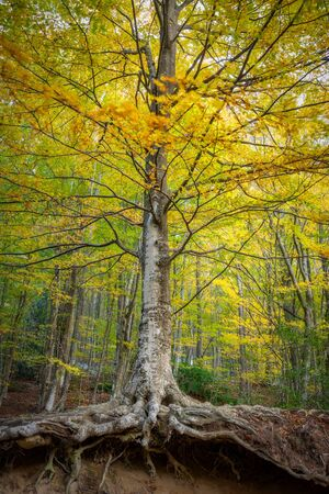 Beautiful autumnal beech forest in a windy day in a mountain Montseny in Catalonia of Spain