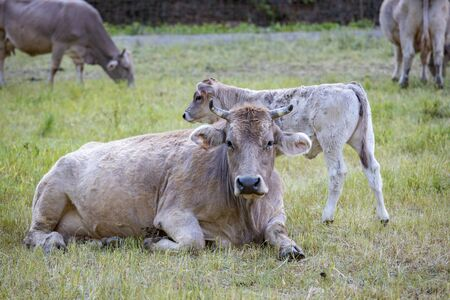 Typical Spanish cow looking at the photographer