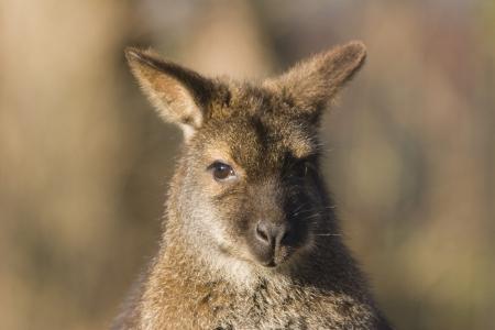 bennett: Bennett kangaroo in sight - Red-necked Wallaby Stock Photo