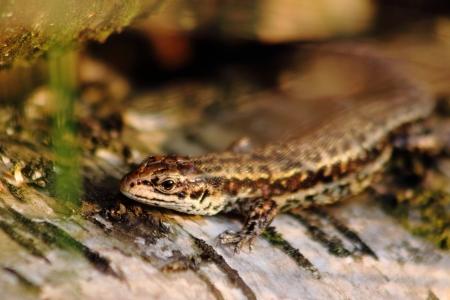 venn: Moor lizard in Emsdettener Venn