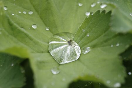 Dew drops on lady's mantle leaf photo