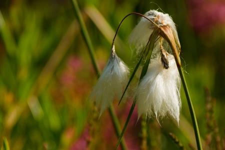 angustifolium: Leaved cotton grass in Emsdettener Venn - Eriophorum angustifolium Stock Photo