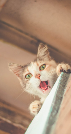 Cute cat yawning. Kitten with open mouth