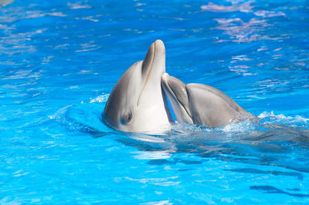 dauphin: Embrasser dauphins Banque d'images