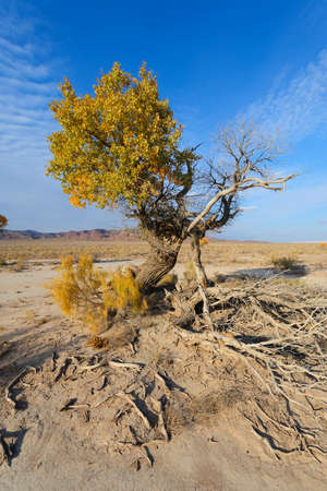 kazakhstan: Turanga Populus pruinosa, east Kazakhstan