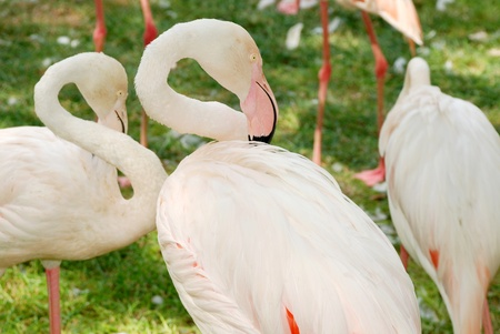 bowing head: White flamingos in zoo