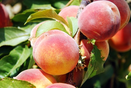 Peaches on the branch of a tree with soft green background Stock Photo