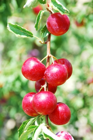 Fruits of plum tree Excellent fruits of plum tree photo
