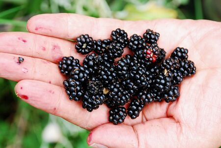 Stack of blackberry in a hand Stock Photo