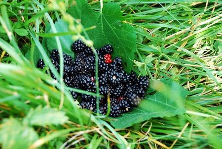 blackberry on leaf Stock Photo