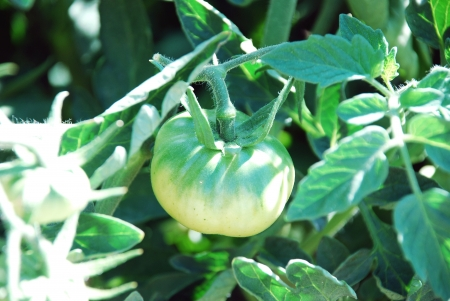 green tomatoes growing  photo
