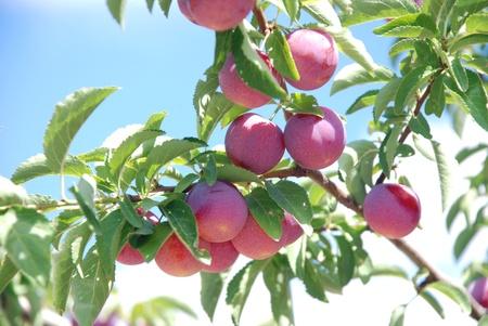 purple leaf plum: Fruits of plum tree Stock Photo