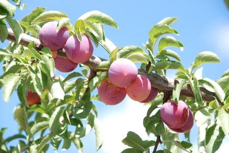 Vruchten van pruimenboom Stockfoto