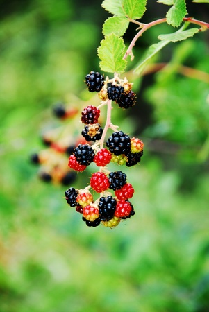 Blackberry in garden Stock Photo