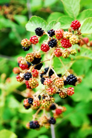 Blackberry in garden   photo