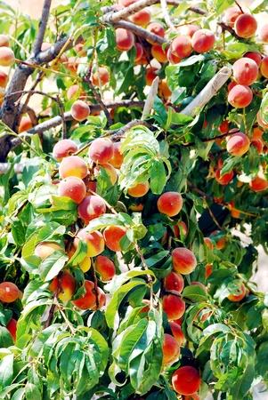Peache tree