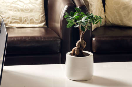 miniaturization: Ficus Ginseng in living room