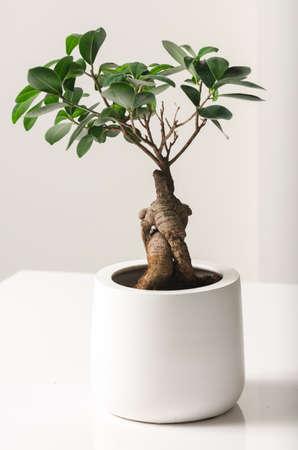 ficus: Bonsai, Ficus Ginseng Stock Photo