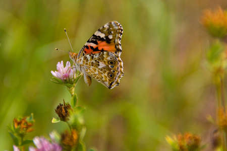 Beautiful multicolored butterfly is sitting on a clover flower photo