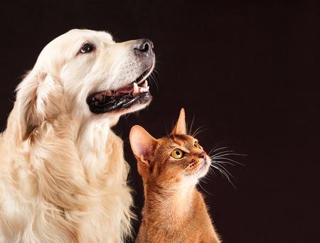 Kat en hond, abyssinian kitten en golden retriever kijkt naar rechts. Stockfoto