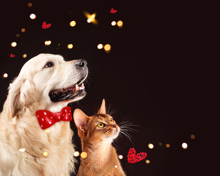 Cat and dog, abyssinian kitten , golden retriever looks at right 스톡 콘텐츠