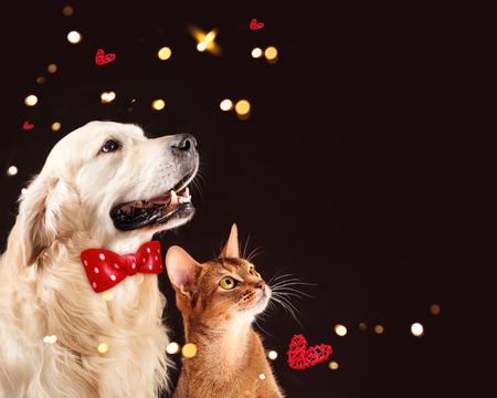 Cat and dog, abyssinian kitten , golden retriever looks at right Foto de archivo