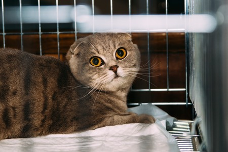 Beautiful purebred scottish cat in the cage at exhibition Stock Photo