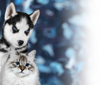 Cat and dog, neva masquerade, siberian husky looks at right on blue background