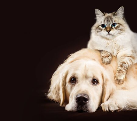Cat and dog, siberian kitten , golden retriever together on dark brown background
