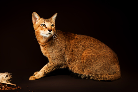 Chausie, abyssinian cat on dark brown background