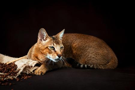 Chausie, abyssinian cat on dark brown background