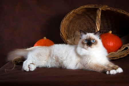 Neva masquerade cat on brown background. Pumpkins in a basket, autumn harvest Stock Photo