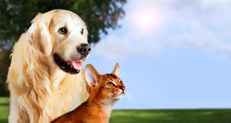 Cat and dog, abyssinian cat, golden retriever together on peaceful nature background.