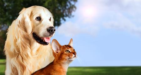 Gato y perro, gato abisinio, golden retriever junto en fondo pacífico de la naturaleza.