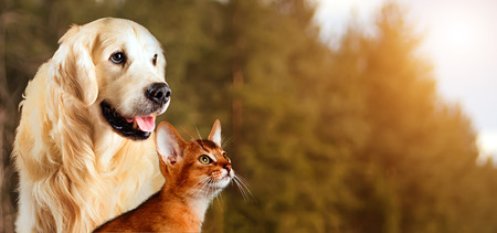 Cat and dog, abyssinian cat, golden retriever together on peaceful autumn nature background.