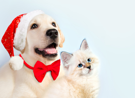 Cat and dog together, neva masquerade kitten, golden retriever looks at right. Puppy with christmas hat and bow. New year mood.