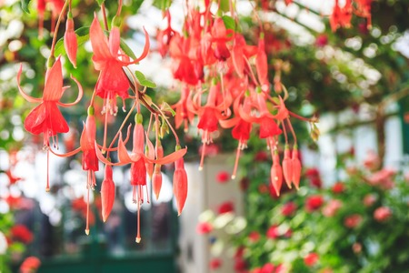 Beautiful blooming fuchsia plants in greenhouse. Close up view.