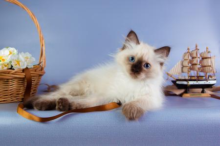 Cute neva masquerade kitten on blue background. Stock Photo
