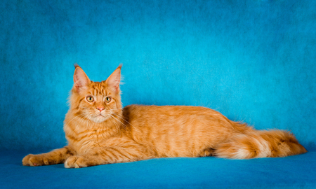 portrait of red maine coon cat on blue background